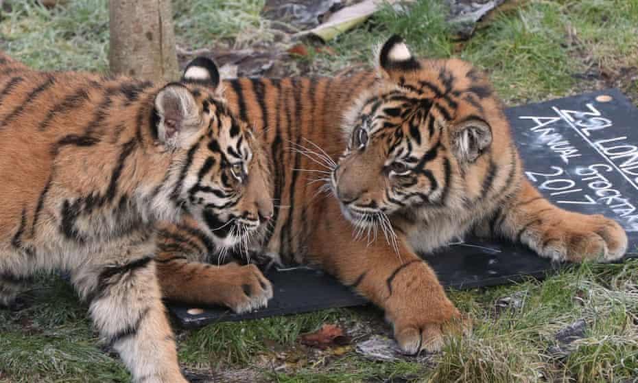 Sumatran tiger cubs at ZSL London Zoo.