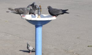 Pigeons at a water fountain.