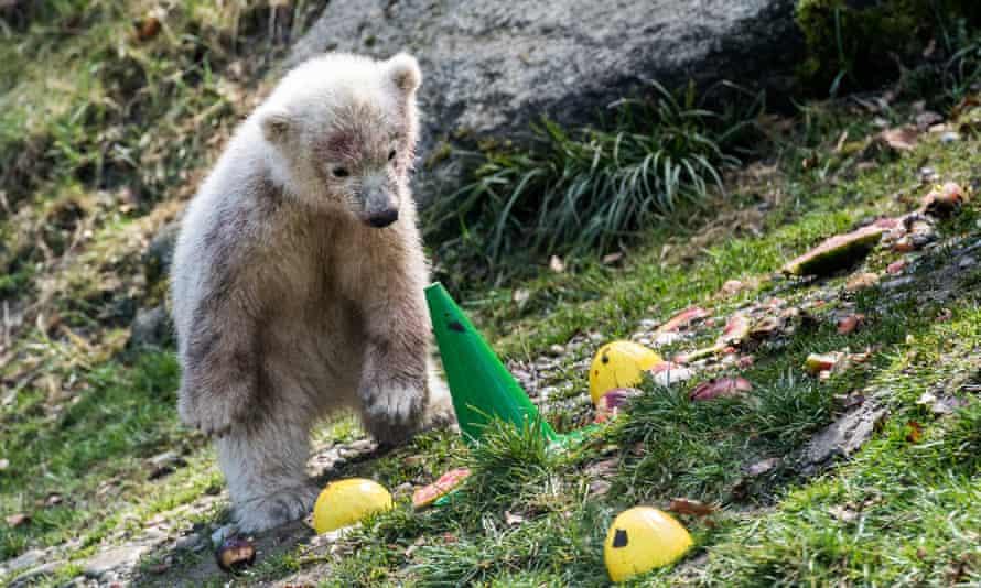 A polar bear cub at a zoo in Germany.