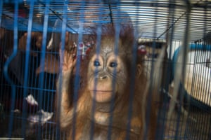 One of two baby orangutans discovered in tiny cages in West Borneo