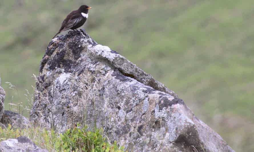 A male ring ouzel, a mountain blackbird which comes to Britain to breed in spring and summer, on Dartmoor.