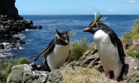 Rockhopper penguins on Tristan da Cunha
