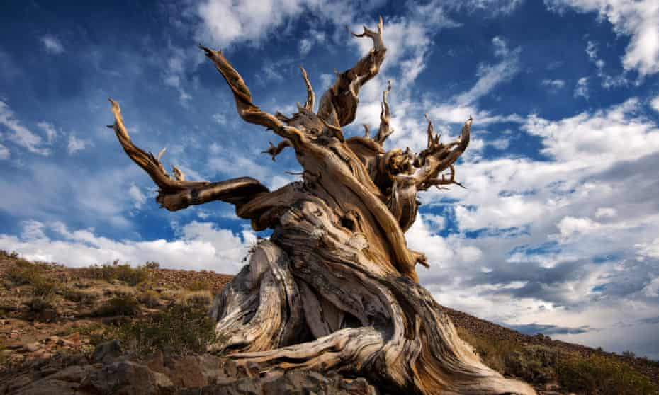 The Methuselah tree in California is pushing the limits of longevity.