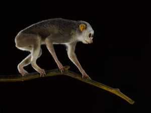 Slender loris – endangered Slender lorises wash their hands and feet in their own urine so that as they travel along branches they leave a smelly trail to help them find their way in the dark.
