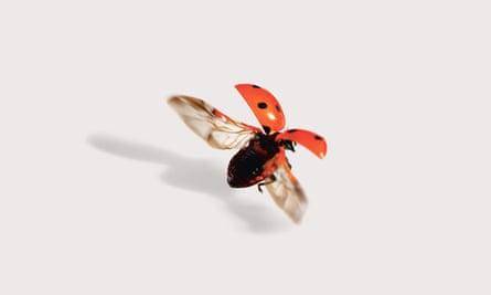 Ladybird in flight
