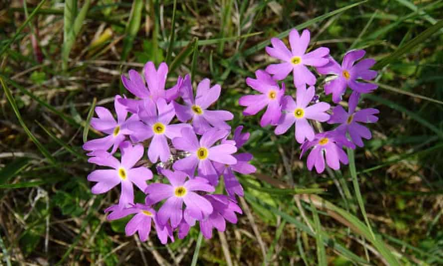 Primula farinosa on the roadside at Sunbiggin Tarn.