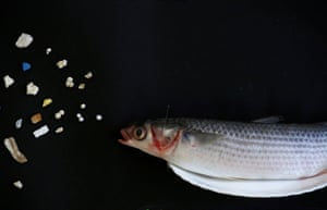 This grey mullet in Hong Kong is thrilled to find microplastics in its habitat.
