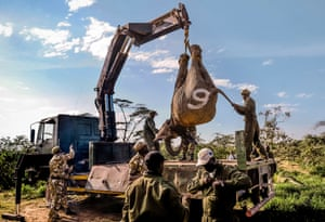 An elephant is winched on to the back of a truck near Narok in Kenya.
