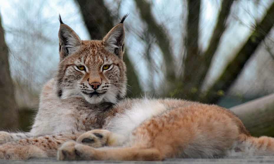 Lillith the lynx