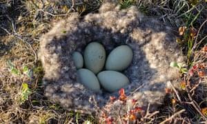 An eider nest with eggs