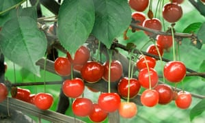 'Morello' cherries hanging on a branch.
