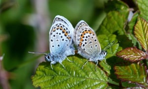 A pair of silver-studded blue butterflies in Clwyd.