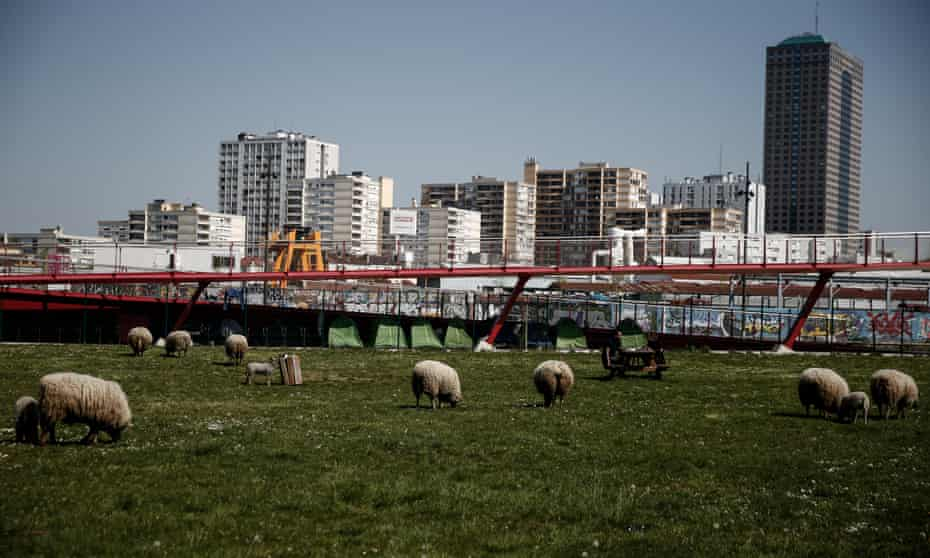 The flock graze with the city behind