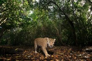 A jaguar in La Papalota reserve in Nayarit, Mexico