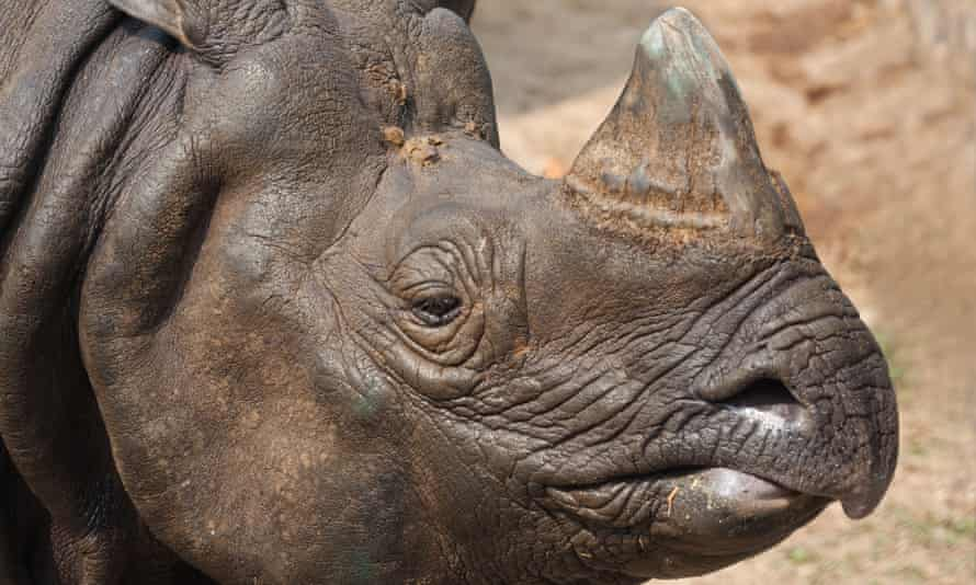 The greater one-horned rhinoceros: in 1975, there were just 600 left.