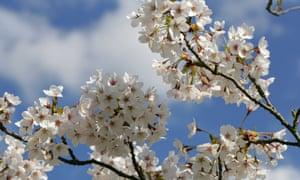 Prunus x yedoensis.