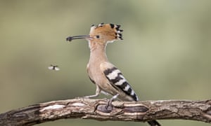 BirdLife Malta has recorded the remains of 15 illegally shot birds this spring, including the hoopoe (pictured) marsh harrier and turtle dove.