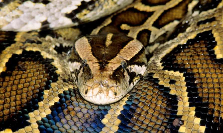 An adult female Burmese python captured in Everglades national park, Florida.