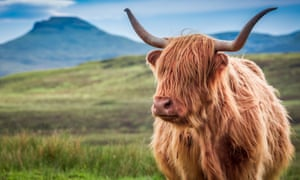 If we must eat creatures as lovely as these highland cattle, we should at least eat nose-to-tail.