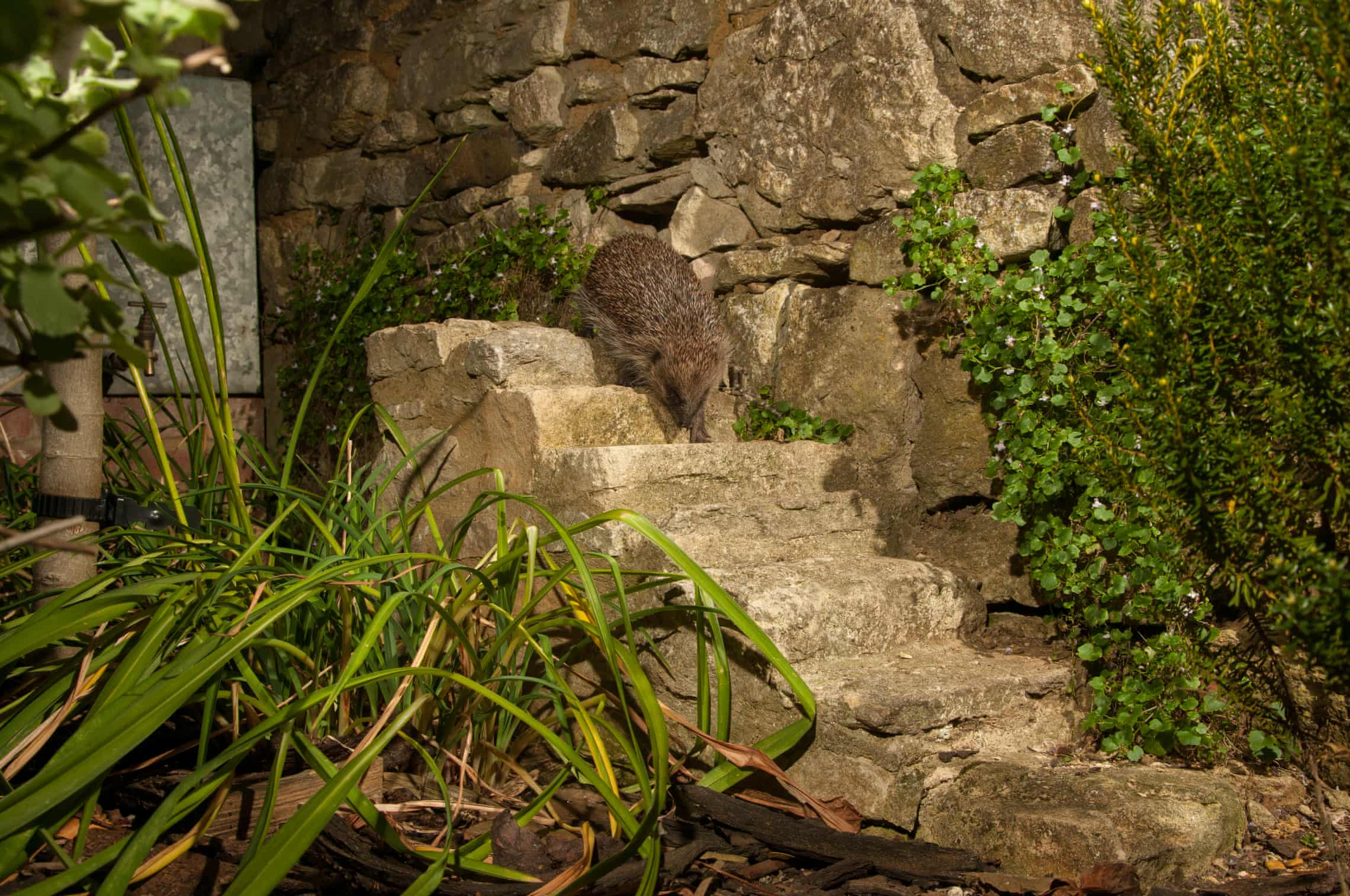 A hedghog opts to take the stairs. Photograph: Stephen Powles