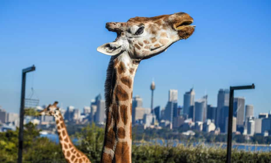 Giraffes in their enclosure at Taronga Zoo in Sydney