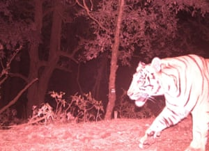 This night vision image of a tiger was a record for Nepal  as it was the first time this big cat was caught on a camera trap.