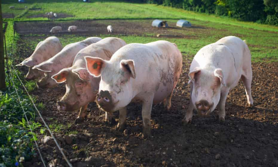 Pigs rooting in a field