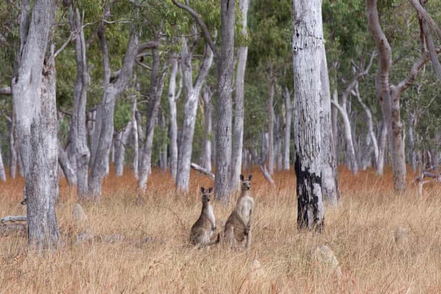 Kangaroos looking towards the camera.