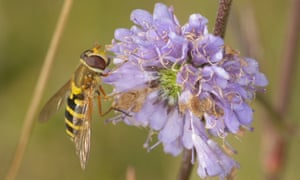 Common banded hoverfly
