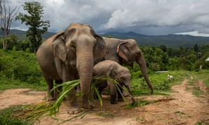 Boon Thong, 40, Ronaaldo, 18 months and his mother Lersu, 30, on a hillside near Mae Sapok village, Chiang Mai, Thailand. More than 100 elephants have been returned to their home villages in the mountains near Chiang Mai for access to farmland to support the 200kg of food each adult needs daily.