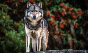 The wolf Takaya