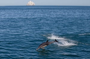 A dolphin leaps in the Cortes Sea in San Felipe, Baja California, Mexico