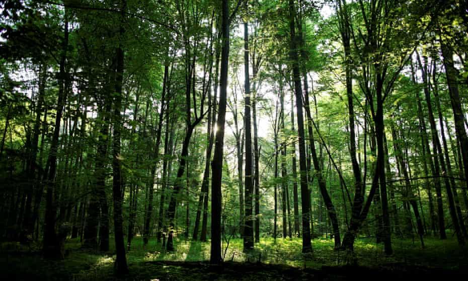 The Białowieża forest