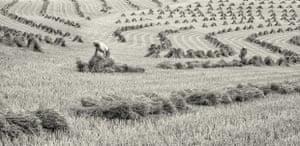 Unstacking Stooks, Coldridge, Devon