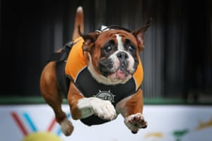 Taco the boxer jumps into a pool of water as he competes in the speed retrieve at the 'Common Woof Games' during the Melbourne Dog Lovers Show