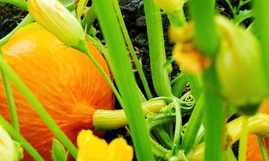 Lush orange pumpkin growing alongside other plants