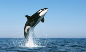 A killer whale. The body of killer whale Lulu, which died in January, was found to contain alarming levels of PCBs.