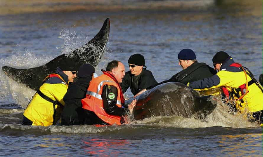 Rescuers begin their attempt to help a northern bottlenose whale that has been lost in the river Thames in the heart of London in 2006.