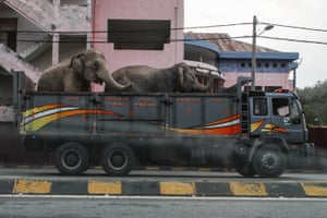 Two elephants are transported in Malaysia as part of a project to create a second elephant sanctuary in the state of Perak to help reduce instances of human to elephant conflict