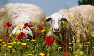 Sheep grazing at the Appia Antica park in Rome