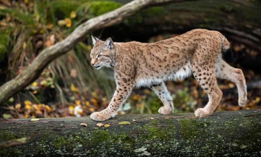 A lynx in France