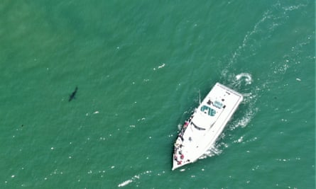Monterey Bay tour boat companies are starting to offer shark-watching trips.