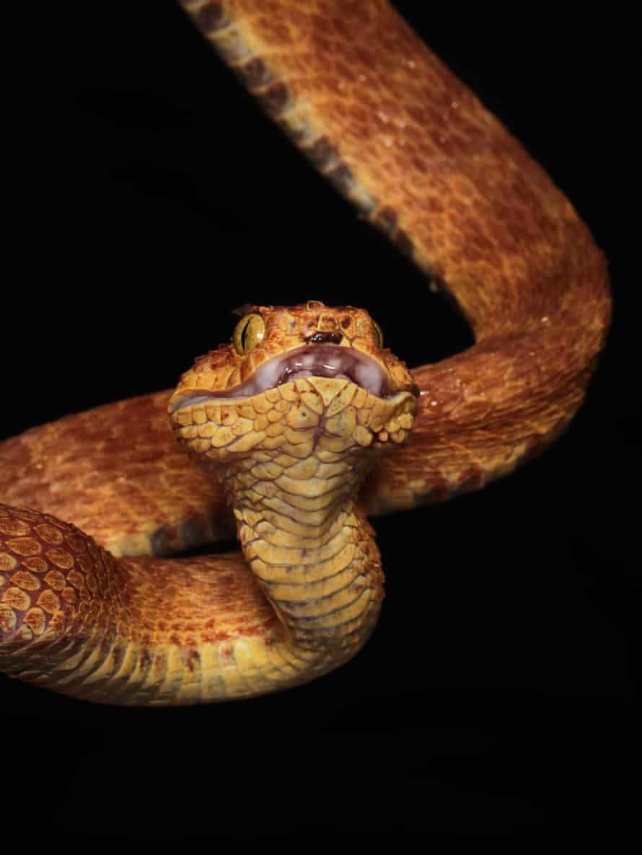 An atheris viper