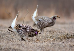 Harp-tailed grouse perform mating displays in the Prairie Pothole Region, near Woodworth, North Dakota, US.