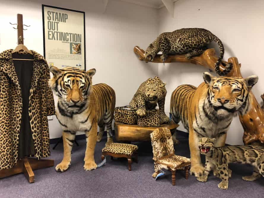 Tigers at the National Wildlife Property Repository.