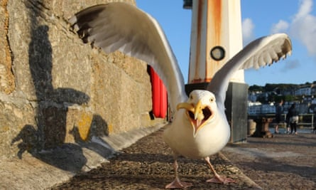 A seagull eats takeaway food left at the harbourside in St Ives. A new study revealed only occasional GPS fixes for four gulls on the town's streets.
