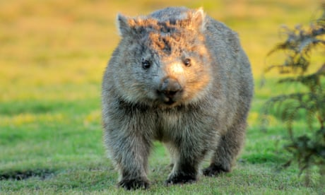 Box seat: scientists solve the mystery of why wombats have cube-shaped poo