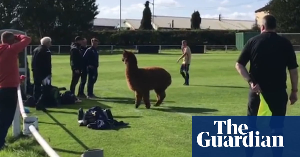 Do they bite?: alpaca invades pitch at non-league football match – video