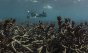 dying coral on the Great Barrier Reef