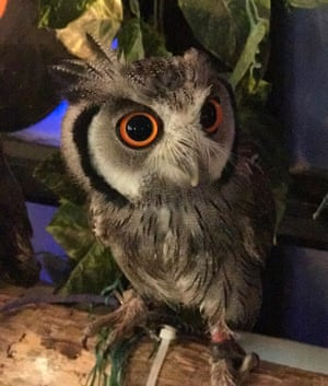 A tethered owl in a cafe in Japan